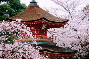 Sakura trees in blossom.